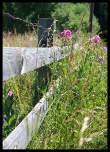 Fence & Wildflowers