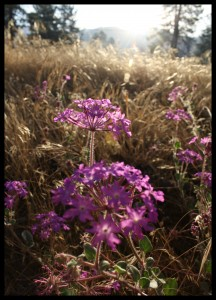 Moss Verbena at Sunrise